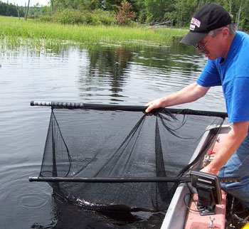 Colour photo of Muskellunge being handled using a cradle. Photo courtesy of S. Kerr, Ministry of Natural Resources, Peterborough