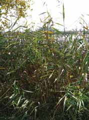 This is a photo of a native phragmites stand.