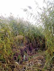 This is a photo of an invasive phragmites stand.