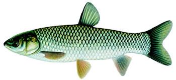 illustration of a grass carp.