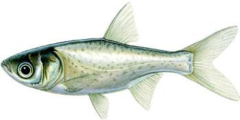 illustration of a juvenile bighead carp.