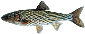 illustration of a fallfish.