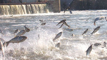 photo of silver carp jumping at Peoria Dam in Illinois.