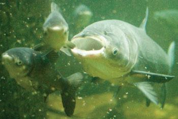 photo of Bighead carp filter feeding on plankton.