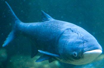 photo of a bighead carp.
