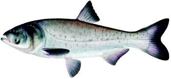 illustration of a bighead carp.