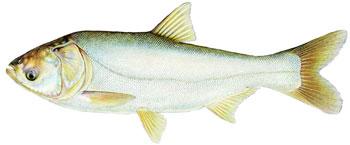 illustration of a silver carp.