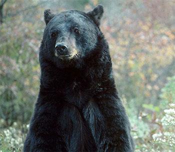 A black bear rearing on its rear legs.