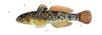 This is an illustration of a round goby with distinguishable markings listed below.