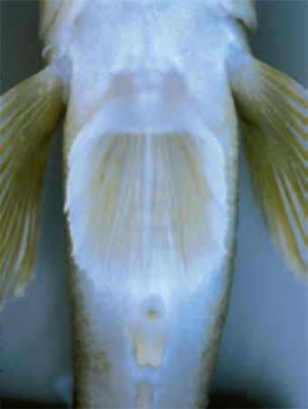 This is a photo showing the pelvic fin of the round goby.