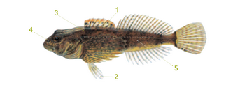 This is an illustration of a sculpin with distinguishable markings listed below.