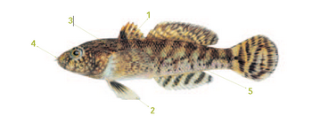 This is an illustration of a tubenose goby with distinguishable markings listed below.