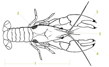 This is an illustration of a rusty crayfish with markings as described below.