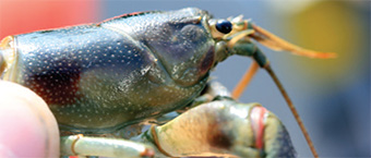 This is a photo of a rusty crayfish showing in comparison that it is not much bigger than a finger.