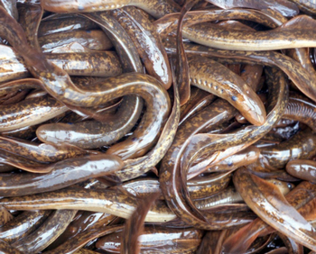 This is a mass of sea lamprey.