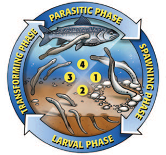 This is a diagram illustrates the four life cycle phases of the sea lamprey.