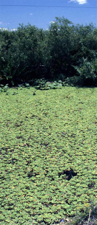 This photo shows a large vegetation area of water lettuce.