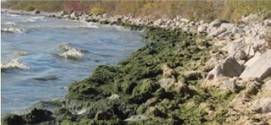 A photo of Cladophora enrichment along Lake Ontario Cobble Beach shoreline.