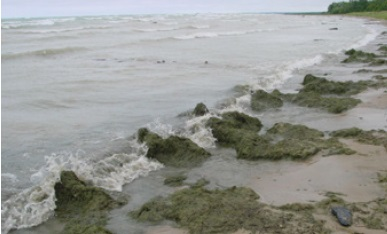 A photo of Cladophora masses along a Lake Huron beach shoreline.