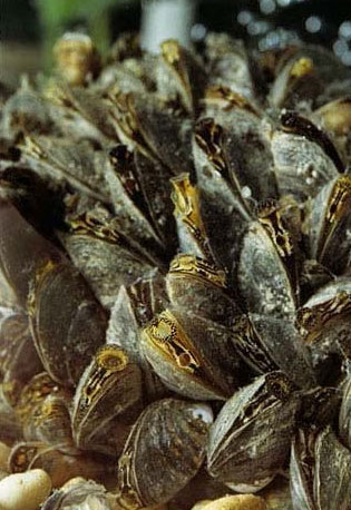 colour photo of zebra mussels. The introduction of zebra mussels had major impacts on the Great Lakes ecosystem.