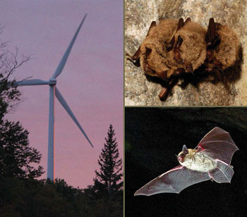 Bats and bat habitats: guidelines for wind power projects