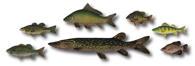 This is an illustration of fish