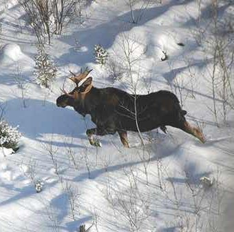 An adult moose in winter