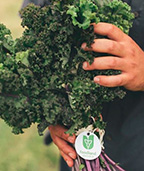 Hands holding a bunch of kale with Foodland Ontario tag