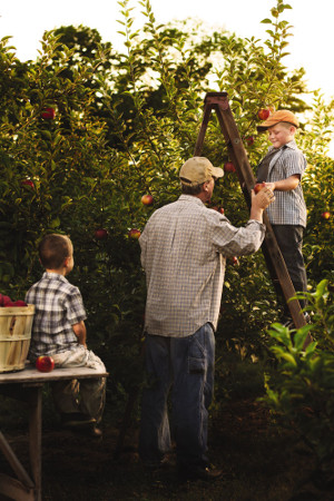 A photo of a small boy on a ladder handing his father an apple that he picked from an apple tree.