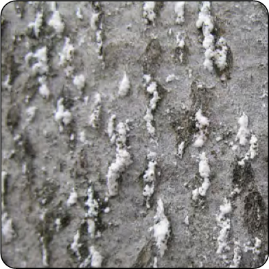 Close-up of beech scale showing white, wool-like excretion covering the scale insects body