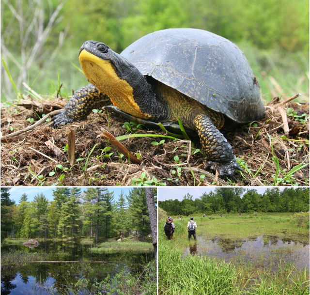 At the top: Close up image of a Blanding's Turtles with it's head outstretched; Bottom Left: A picture of a beaver wetland; Bottom Right:  Several people searching a shallow grassy wetland.