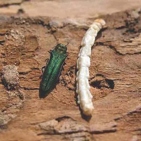 Emerald ash borer adult and larva