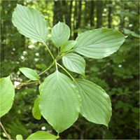 Alternate-Leaf Dogwood leaf