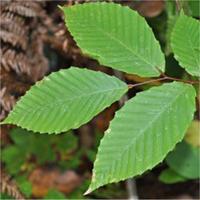 feuille : Hêtre à grandes feuilles