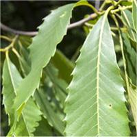 American Chestnut leaf
