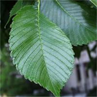 American Elm leaf