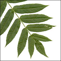 American Mountain-Ash leaf