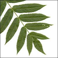 American Mountain-Ash leaf