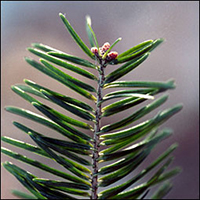 Balsam Fir leaf