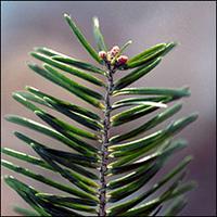 Balsam Fir leaf