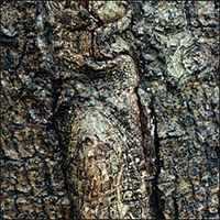 écorce : Caryer cordiforme