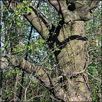 arbre : Caryer cordiforme arbre