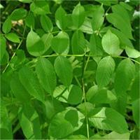 Black Ash leaf