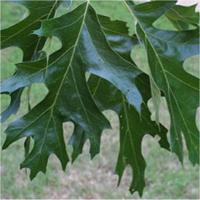 Black Oak leaf