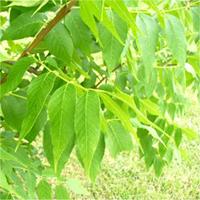 Blue ash leaf