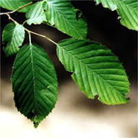 Blue-Beech leaf