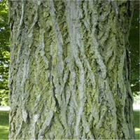 https://files.ontario.ca/environment-and-energy/conservation-and-stewardship/butternut-bark.jpg