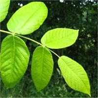 Butternut leaf