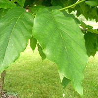 Cucumber Tree leaf