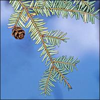 Eastern Hemlock leaf